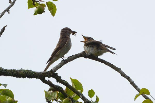 19-Spotted-Flycatcher-Feeding-WB01-1