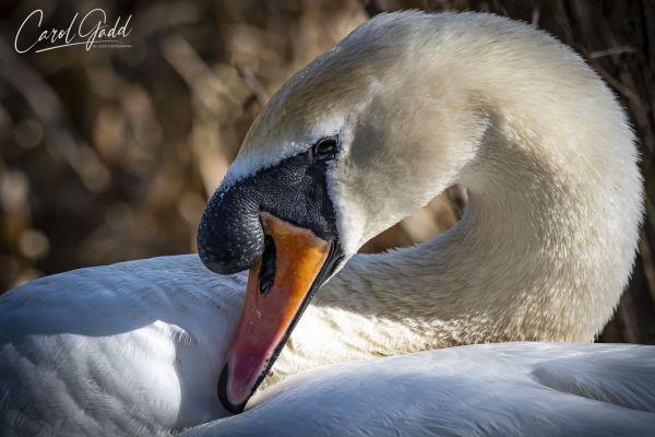 Swan-6359-C-1