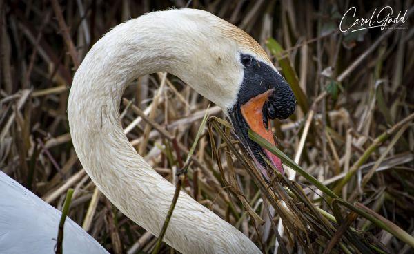 Swan-6693-C-1