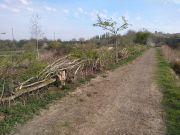 Hedge-laying-1
