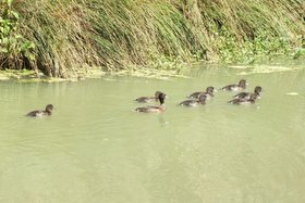 Tufted duck at Studley Grange